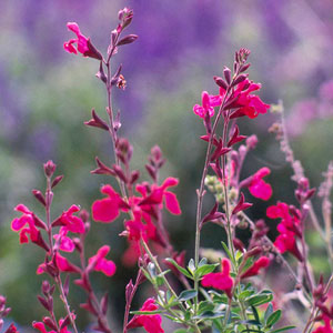 desert-flowers-autumn-sage